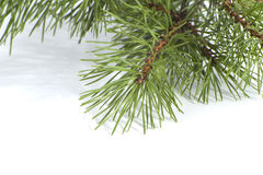 Scots pine branch closeup. Stock Photography