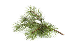 Scots pine branch. Stock Photo
