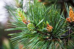 Scots pine branches with male and female cones. Scots pine branches with male pollen cones and female seed cones Royalty Free Stock Photos