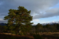 Scots pine in the Cairngorms national park. Royalty Free Stock Photos