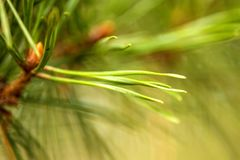 The Scots pine, closeup Royalty Free Stock Images