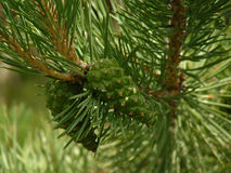 Scots pine cones stock photos