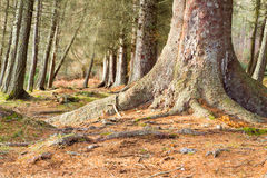 Scots Pine Forest Stock Photo