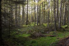 A Scots Pine Forest in the Highlands stock photo