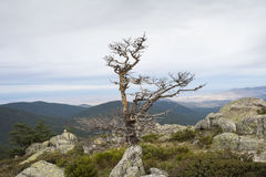 Scots pine forest Stock Image