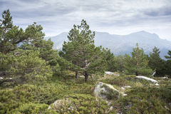 Scots pine forest Stock Photography