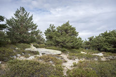 Scots pine forest Stock Images