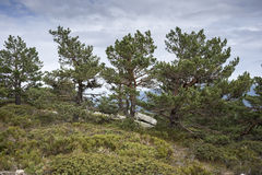 Scots pine forest Royalty Free Stock Photos