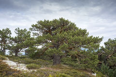 Scots pine forest Stock Photos