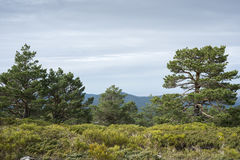Scots pine forest Royalty Free Stock Image