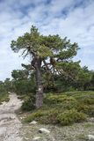 Scots pine forest. And padded brushwood Cytisus oromediterraneus and Juniperus communis in Siete Picos Seven Peaks range. It is one of the mountain ranges Stock Photography