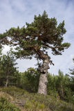 Scots pine forest. And padded brushwood Cytisus oromediterraneus and Juniperus communis in Siete Picos Seven Peaks range. It is one of the mountain ranges Royalty Free Stock Photography