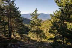 Scots pine forest. Pinus sylvestris near Hornillo Stream, in Guadarrama Mountains National Park, Spain Royalty Free Stock Photos