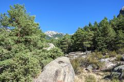 Scots pine forest, Pinus sylvestris. In La Pedriza, Guadarrama Mountains National Park, province of Madrid, Spain. In the background, it can be seen Las Torres Stock Photography