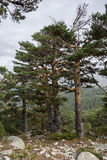 Scots pine forest. In Siete Picos Seven Peaks range, in Guadarrama Mountains National Park, province of Madrid, Spain Stock Images
