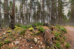 Scots Pine forest Royalty Free Stock Images