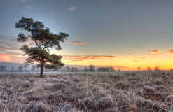 Scots Pine on a frozen heath Stock Photo