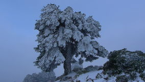Scots pine frozen stock video