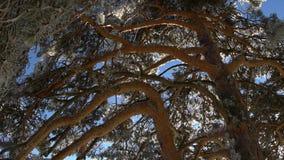 Scots pine frozen stock video footage
