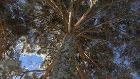 Scots pine frozen stock footage