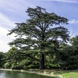 The Scots pine - keeper of the forest. / Claremont Landscape Garden stock image