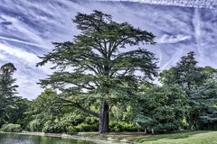 The Scots pine - keeper of the forest. Claremont Garden royalty free stock images