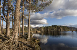 Scots Pine on Loch Mallachie. Scots Pine on Loch Mallachie in the Cairngorms National Park of Scotland stock image