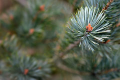 Scots pine. Pinus sylvestris, buds and needles Royalty Free Stock Image