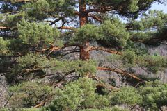 Scots pine in Pyrenees Royalty Free Stock Images