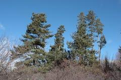 Scots pine. In Pyrenees, Pinus sylvestris Stock Image
