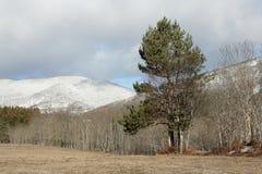 Scots pine. In Pyrenees, Pinus sylvestris Stock Photo