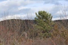 Scots pine in Pyrenees. Pinus sylvestris Stock Image