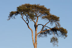 Scots Pine Tree Royalty Free Stock Image