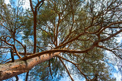 Scots pine tree canopy. With blue sky, abstract photography Royalty Free Stock Photo