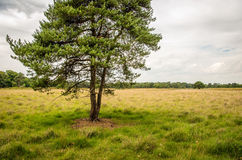 Scots pine tree on a large heather field Stock Photos
