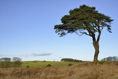 Lone Scots Pine Tree. Scots Pine Tree - Pinus sylvestris, and North Hill, Waldegrave Pool, Mendip Hills, Somerset Royalty Free Stock Photo