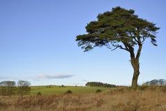 Lone Scots Pine Tree Royalty Free Stock Photo