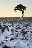 Scots Pine. Tree in Snow at Waldegrave Pool, Mendip Hills, Somerset Royalty Free Stock Image
