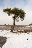 Scots pine tree in a snowy heather landscape Royalty Free Stock Photos