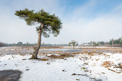 Scots pine tree in a snowy landscape. Scots pine tree or Pinus sylvestris against a blue sky on a clear and sunny day in wintertime Royalty Free Stock Photo
