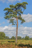 Scots Pine Tree Royalty Free Stock Images