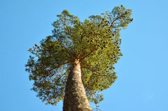 Scots pine tree. Scots pine tree top shot from the below in the Scandinavian wild nature stock photography