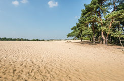 Scots Pine trees growing on a sandy dune Stock Photo