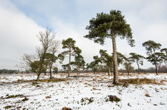 Scots pine trees in a large natural area in wintertime Royalty Free Stock Photography