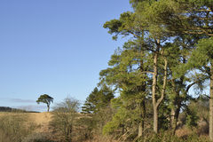 Scots Pine Stock Images