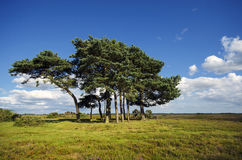 Scots Pine Trees Stock Images