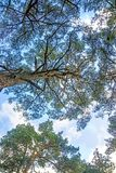 The Scots pine view to the head. The Scots pine, view to the head of the tree Royalty Free Stock Photography