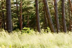 Scots or Scotch pine Pinus sylvestris trees in evergreen coniferous woodland. Pinewood with pine tree trunks and grass growing in forest understory. Scots or Royalty Free Stock Image