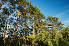Scots or Scotch pine Pinus sylvestris trees growing in evergreen coniferous forest. Stock Photography
