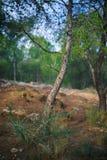Scots sosna w lesie Fuensanta, Murcia obraz stock